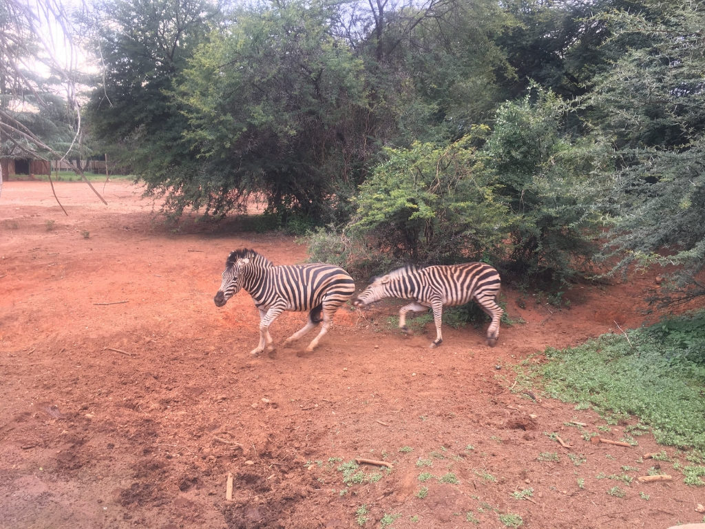 African zebras fighting at the zoo